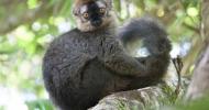Großer Maki (Eulemur) aus der Primatengattung der Lemuren (Lemuriformes).