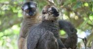 Lemuren: Hier zwei Große Makis